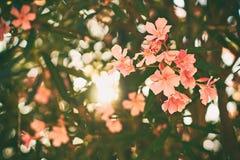 Det härliga tropiska trädet för den röda och rosa neriumoleander blommar med trevlig bokehbakgrund Royaltyfri Foto