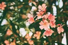 Det härliga tropiska trädet för den röda och rosa neriumoleander blommar med trevlig bokehbakgrund Arkivbilder