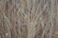 Det härliga vetet i jordbruksmark arkivfoton