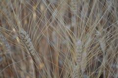 Det härliga vetet i jordbruksmark royaltyfri bild