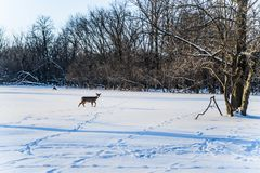 Det härliga vinterskoglandskapet med deers går i snö royaltyfri fotografi