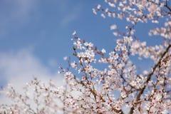 Det härligt av den körsbärsröda blomningen Royaltyfri Fotografi