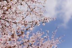 Det härligt av den körsbärsröda blomningen Royaltyfria Foton