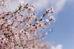 Det härligt av den körsbärsröda blomningen Arkivfoto