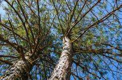 Det höga trädet Arkivfoton