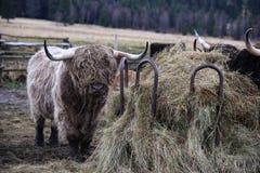 Det höglands- nötkreaturet, skotskt ersiskt, parkerar Sumava, Boemerwald, Tjeckien Arkivbild