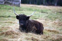 Det höglands- nötkreaturet, skotskt ersiskt, parkerar Sumava, Boemerwald, Tjeckien Royaltyfri Fotografi