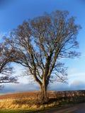 Det högväxta trädet, Crookham, Northumberland, UK Royaltyfria Bilder
