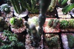 Det h?rliga kaktustr?det i de offentliga tr?dg?rdarna som ?r utomhus- och, parkerar arkivbilder
