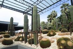 Det h?rliga kaktustr?det i de utomhus- tr?dg?rdarna och parkerar arkivbild