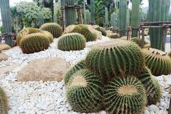 Det h?rliga kaktustr?det i de utomhus- tr?dg?rdarna och parkerar royaltyfri bild