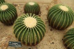 Det h?rliga kaktustr?det i det utomhus- arbeta i tr?dg?rden och parkerar royaltyfria bilder