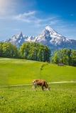 Det idylliska landskapet i fjällängarna med kon som betar på det nya gröna berget, betar Arkivfoto