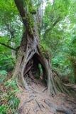 Det ihåliga trädet med invecklat rotar Arkivbild