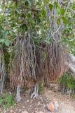 Det indiska banyanträdet med flyg- rotar, Jaipur, Rajasthan, Indien arkivbilder