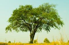 Det indiska jujubeträdet, det stora trädet som växer upp i bygden av Thailand, ser nytt och härligt Arkivfoto