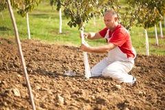 Det industriella åkerbruka temat, bonde skyddar träd med stuckit Arkivbild