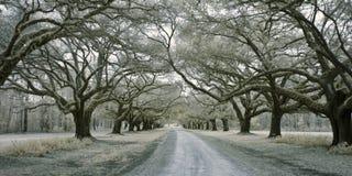 Infared aveny av oaks Royaltyfria Bilder