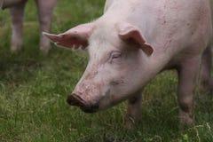 Det inhemska skottet för huvudet för durocavelsvinet på den djura lantgården betar på Arkivfoton