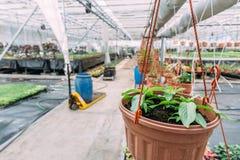 Det inre moderna växthuset eller drivhuset för att odla och att växa blommar och växter Organiskt åkerbrukt begrepp Royaltyfria Foton
