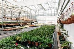 Det inre moderna växthuset eller drivhuset för att odla och att växa blommar och växter organiskt jordbruk Royaltyfri Foto