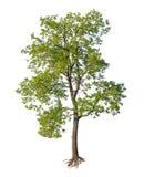 det isolerade snittet rotar treen Arkivbilder