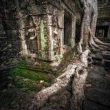 Det jätte- banyanträdet rotar på templet för Ta Prohm Angkor Wat cambodia Royaltyfri Fotografi