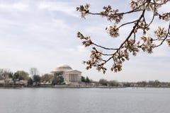 Det japanska körsbärsröda trädet slår ut och blomstrar med Jefferson Memorial royaltyfri bild