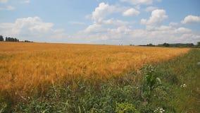 Det jordbruks- gula vetefältet nära whith för blå himmel fördunklar stock video