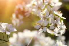 Det körsbärsröda trädet blommar att blomma på våren Arkivfoton