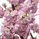 Det körsbärsröda trädet blomstrar i vår Royaltyfria Bilder