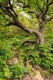 Det knotiga spöklika trädet rotar den skumma skogen NC Arkivfoto