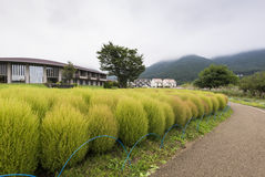 Det Kokia fallogräset på Oishi parkerar, sjön Kawaguchiko Royaltyfri Foto