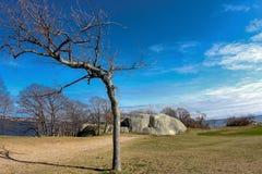 Det krökta trädet i vintern på etappfortet parkerar i Gloucester Massachusetts arkivfoto