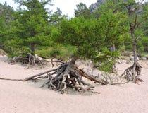 Det kraftiga trädet rotar Fotografering för Bildbyråer