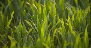Det kultiverade fältet av barn gör grön vete i morgonen arkivfilmer