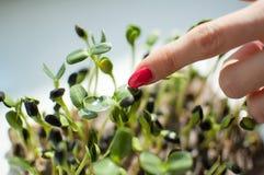Det kvinnliga fingret med röd manikyr trycker på nya och rå groddar av solrosen Sund mat, microgreens som brukar på arkivbilder