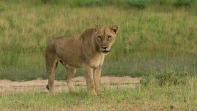 Det kvinnliga lejonet står upp arkivbild
