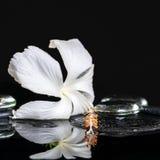 Det lågtemperatur- brunnsortbegreppet av den delikata vita hibiskusen, zen stenar intelligens Royaltyfri Foto