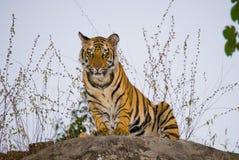 Det lösa anseendet för den Bengal tigern på ett stort vaggar i djungeln india 17 2010 för india för elefant för bandhavgarhbandha Arkivbilder
