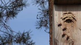 Det lösa bålgetinggetingflyget in i träfågeln som bygga bo asken sörjer in 4K arkivfilmer