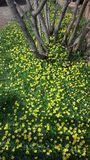 Det lösa livet vid vägen, blommar guling buskar Royaltyfria Bilder