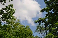 Det lövfällande trädet krönar, och blå himmel med vit fördunklar - med kopieringsutrymme Royaltyfri Fotografi