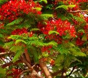 Det lövrika flamboyan trädet med blommor och gräsplan slår ut Royaltyfria Foton