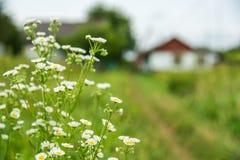 Det lantliga landskapet, kamomill blommar i förgrunden nära banan, hus i bakgrunden Royaltyfri Foto