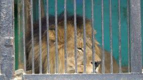 Det ledsna fördömda lejonet lägger på golvet, satte ner det deprimerade huvudet, fångenskap på zoo som vilar stock video