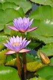 Lotusblommablomma Royaltyfri Foto