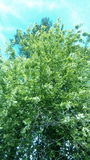 Det lila trädet på en stadsgata Royaltyfria Bilder
