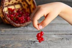 Det lilla barnet rymmer en borste för röd vinbär i hans händer Nya röda vinbär i korg Bakgrund för sommarbärskörd Arkivfoto