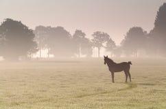 Det lilla fölet på dimmig soluppgång betar Royaltyfri Bild